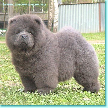 "Black Chow Chow Lion Cut Chow-chow kennel ""avgit"""